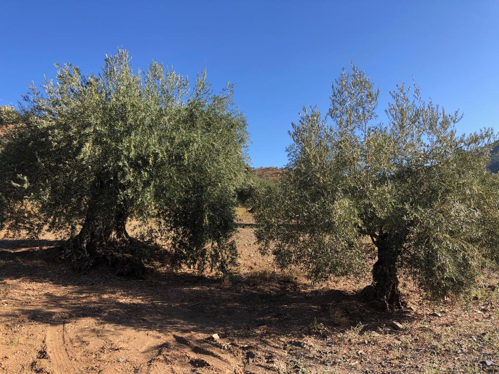 sponsor two olive trees